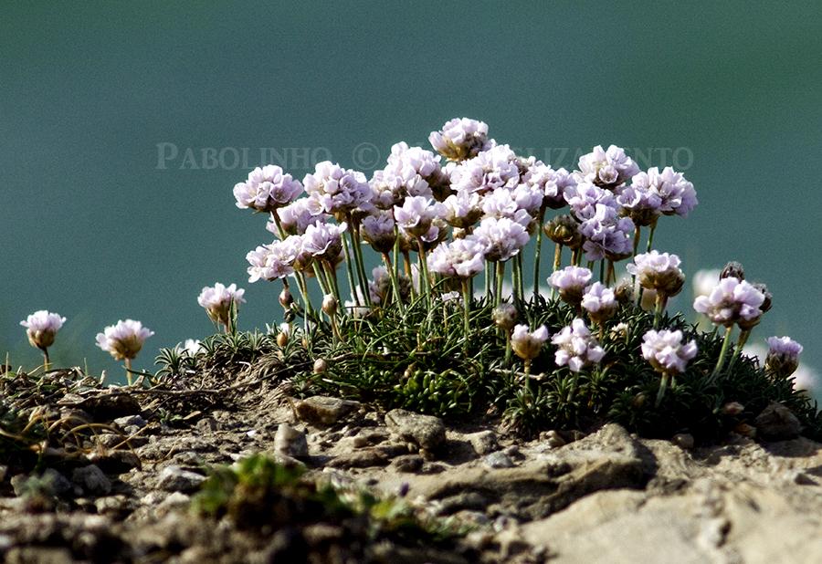 Artabrian Flowers