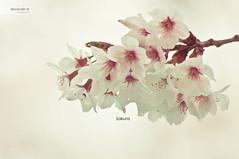 Sakura (Monirath Nuit) Tags: trip pink flower nature japan 35mm cherry spring branch blossom sakura nikkor twop d5000