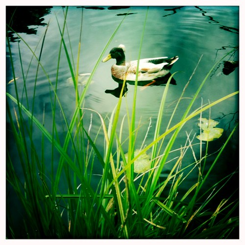 Duck on Jubilee Lake