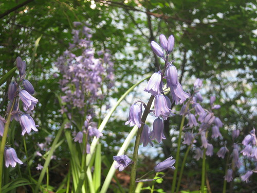 English Bluebells by Mortira