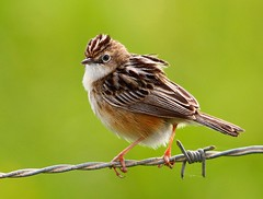 Fuinha-dos-juncos/ Fan-tailed Warbler (Cisticola juncidis) (Rosa Gamboias/ on vacation) Tags: naturaleza nature birds animals fauna wildlife natureza aves uccelli pjaros animais birdwatching pssaros vogel oiseaux avifauna passeriformes fantailedwarbler cisticolajuncidis passerines faunadeportugal fuinhadosjuncos rosagambias