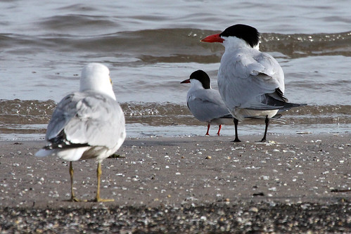 Ring-billed Gull, Forster's and Caspian Terns