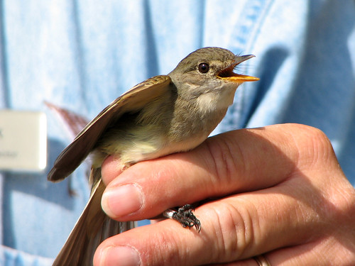 Alder or Willow Flycatcher