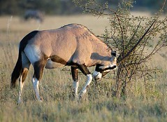 Oryx fighting with thorn bush