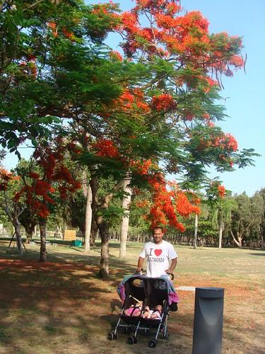 Under the phoenix tree