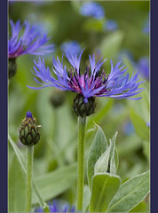 Blue Cornflower (Magic_moments.) Tags: blue cornflower tamron90mm greatphotographers nikond60 fantasticflower dragondaggeraward