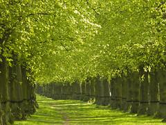 Lime Light (DaveKav) Tags: uk greatbritain trees england green spring unitedkingdom britain limegreen olympus sherwoodforest gb lime nationaltrust footpath nottinghamshire sherwood clumber e510 clumberpark fourthirds limetreeavenue bassetlaw