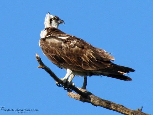 IMG_3853-Sanibel-Lighthouse-Beach-Osprey