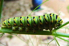 Garden visitor (Texas to Mexico) Tags: plants green nature butterfly texas gardening bugs caterpillar growing swallowtail inthegarden natureisperfect eatingthefennel remindsmeofapixaranimation