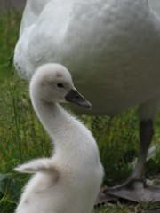 When I grow up I'll be tall like mum (zomersterren) Tags: baby white green grass swan groen gras wit zwaan