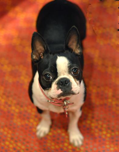Tiny Boston Terrier