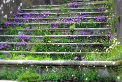 Purple Tread (floato) Tags: uk england copyright white flower color colour green castle beautiful beauty architecture stairs photography photo interesting ancient scenery pretty photographer purple photos britain steps picture scene attractive british exquisite tread picturesque eyecatching effe flwers sizergh d80 floato plantspurple pleaseaskifyouwanttouseaphotoiusuallysayyes