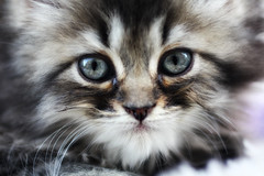 Persian Cat (P.C.P) Tags: