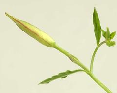 Oenothera speciosa (Onagraceae) (glingvert) Tags: oenothera flowerbud onagraceae