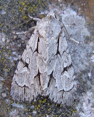 Grey Dagger sp moth