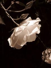 white rose in sepia (overthemoon) Tags: white flower home fleur rose sepia garden schweiz switzerland suisse flor svizzera imagepoésie 1j1t