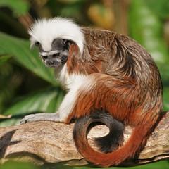 Cotton-Top Tamarin (rogersmithpix) Tags: wildlife monkeys endangeredspecies adelaidezoo cottontoptamarin tamarins adelaidezoologicalgardens saguinusoedipusoedipus