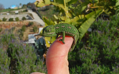 Recently hatched Mediterranean Chameleon balanced on a thumb. Spain (Sky and Yak) Tags: nature spain mediterranean reptile wildlife andalucia lizard thumb balance andalusia chameleon espagne naturalworld hatched