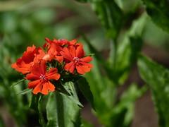 Brennende Liebe (cangaroojack) Tags: flowers red flower green rot closeup garden blumen beet blume garten rote brennendeliebe