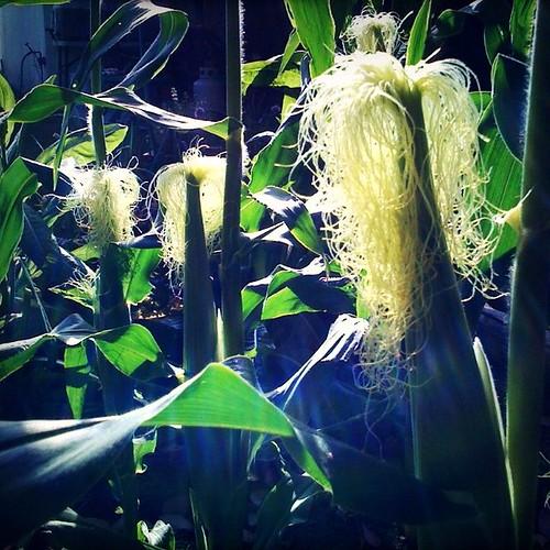 Life: Corn Silk'd!