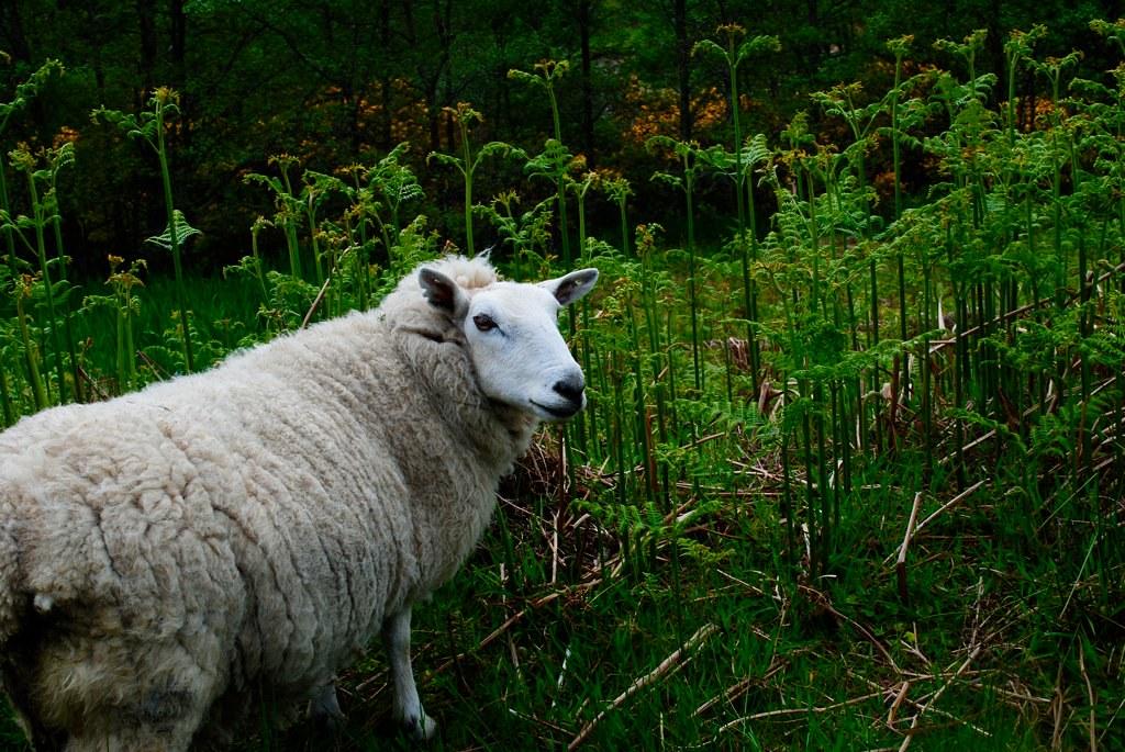 pretty little sheep