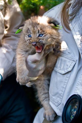 Canadian Lynx Kitten. Canada Lynx Kitten,