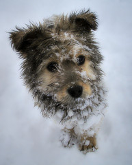 Gos d'atura / Catalan Sheepdog (revisited) (Ferran.) Tags: snow sheepdog catalonia catalunya gos pyrenees neu ripolles revisited queralbs gosdatura atura quisset ruira