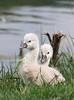 The little shy swan - Il timido, piccolo cigno (Robyn Hooz) Tags: italy cute canon is swan twins italia shy tele efs vicenza gemelli cigno timido carini fimon 55250 arcugnano 1000d