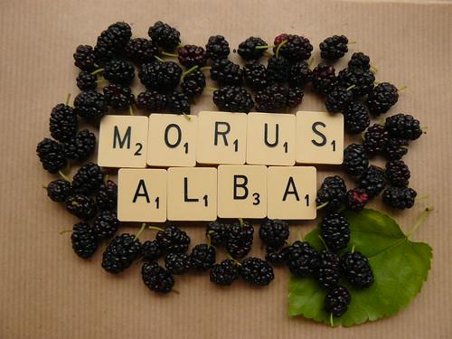 solar dyeing // morus alba
