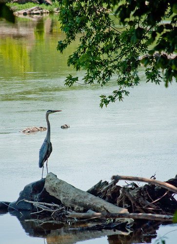 Blue Heron on the Potomac