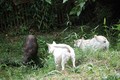 Kishu Baying Boar