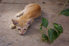 Feline Melancholy (julie.froo) Tags: cat temple kitten feline chat asia cambodge cambodia southeastasia solitude boredom katze melancholy siemreap gatto malinconia chaton mlancolie justpentax watpreahpromrath felinemelancholy