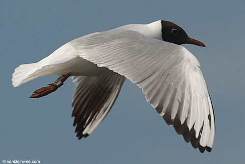 Black-headed Gull, adult, W[E5HV]