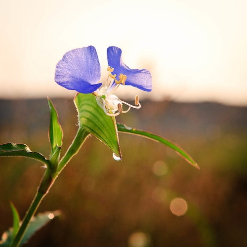 Flower And Dew Drop
