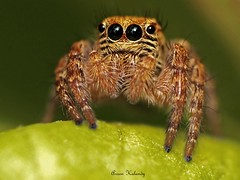 Macro Spider Eyes (aroon_kalandy) Tags: light india creativity spider eyes adobephotoshop artistic awesome kerala fantasy greatshot multiple impressions concept lovely naturelovers calicut kozhikode tamron90mmmacro supershot beautifulshot anawesomeshot sonydslra200 macrolife malayalikkoottam aroonkalandy macrolifeelite
