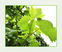 Weinblatt (Heide (vorher roeschen56)) Tags: herbst grn blatt wein platinumphoto
