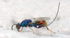 Parasitoid wasp (Torymidae) (Scrubmuncher) Tags: torymidae parasitoidwasp wasp galls picosdeeuropa spain entomology zoology rosspiper insects spiders arthropods