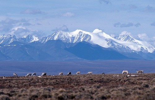 From flickr.com: Caribou graze on the coastal plain of the Arctic National Wildlife Refuge {MID-212653}