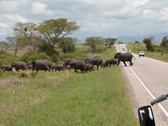 Elephant Crossing (woychukb) Tags: africa elephant uganda queenelizabethpark bushenyi