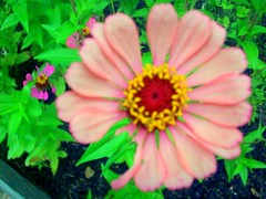 Nature: Close-Ups_1 (channingpotter) Tags: pink flowers plant flower green nature leaves closeup composite garden petal zinnia