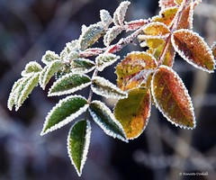 It gets cold (dorena-wm) Tags: light orange green nature leaves licht leaf frost hoarfrost natur grn blatt bltter raureif reif bohek mygearandmepremium mygearandmebronze mygearandmesilver mygearandmegold doren