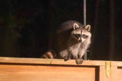 racoon2001