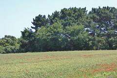 2017.06.12.057 SAINT ARMEL - Blé et coquelicots (alainmichot93 (Bonjour à tous - Hello everyone)) Tags: 2017 france bretagne morbihan presquîlederhuys saintarmel golfedumorbihan fontaine champ blé coquelicots fleurs flowers fiori flores blümen