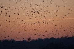 Murmuration-18 (Odd Wellies) Tags: hamwall murmuration starlings