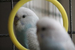 Tommy (nickandhannahforever) Tags: tommy lemon budgie pet pets budgies birds bird avary animals
