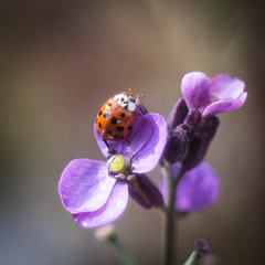 Happy Sunday! (ursulamller900) Tags: pentacon28100 extensiontubes 12mm makroringe macro ladybug marienkäfer coccinella purple insekt insects