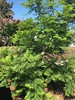 My Jacaranda tree (Anna Sunny Day) Tags: jacarandatree