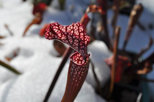 Sarracenia leucophylla x rubra ssp. gulfensis