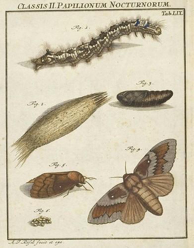 Bomcyx pavonia V.4