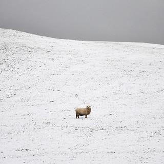 Its Fleece Was White As Snow